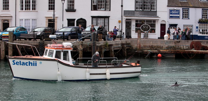 Dolphins in Weymouth Harbour
