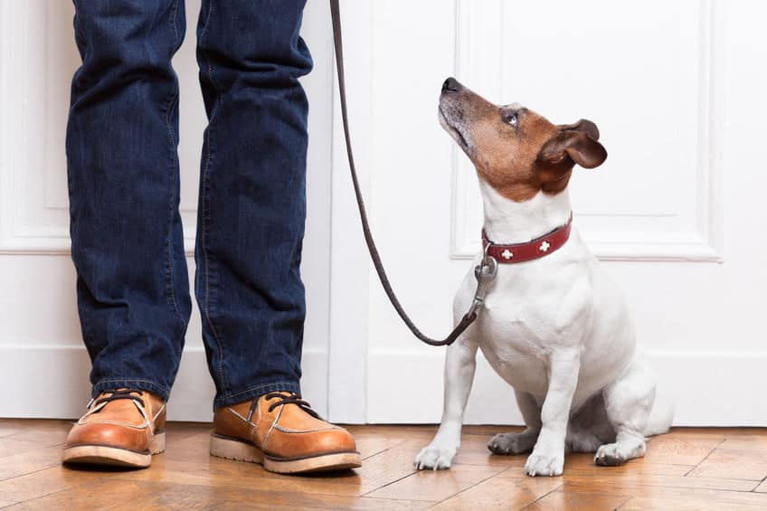 Image of a leash dog looking at its owner.