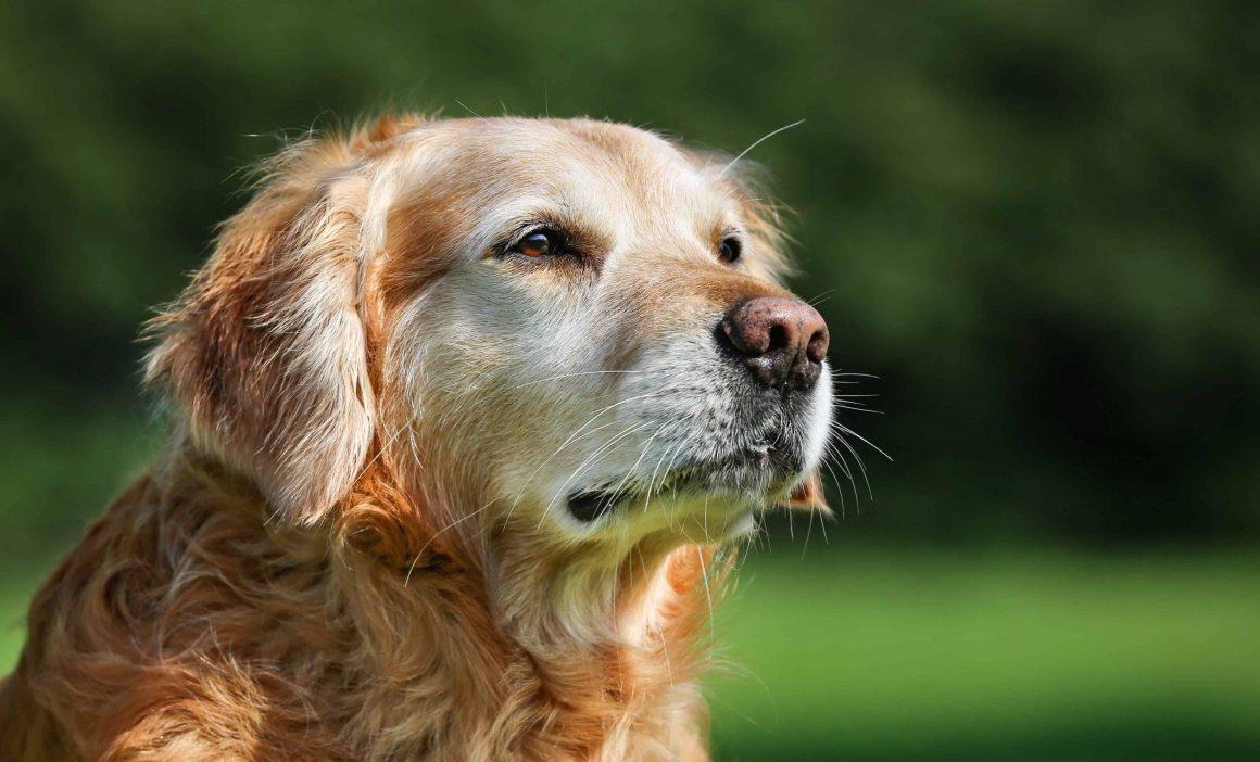 cute old dog