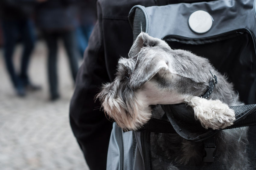portrait of dog into the backpack in the street