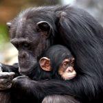 Matar é um ato natural para chimpanzés