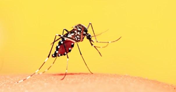 Mosquito aedes aegypti que pode causar a Febre Amarela, Dengue, zika e chikungunya
