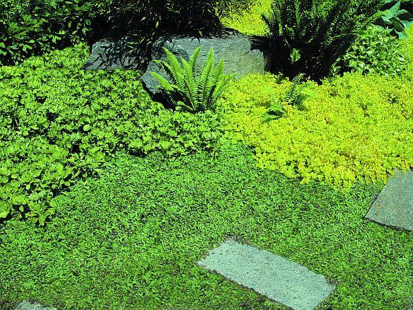 La Leptinella squalida è un altra pianta perenne tappezzante che possiamo utilizzare sul terreno del vialetto