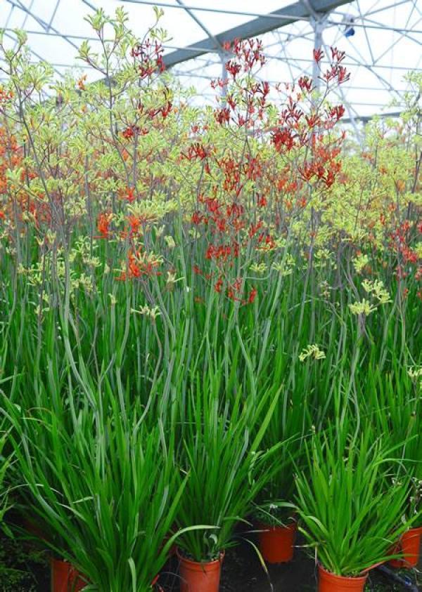 """L'Anigozanthos flavidus, una pianta di origine australiana, comunemente nota come """"zampa di canguro"""" a causa della forma dei suoi fiori"""