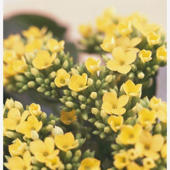 La Kalanchoe è una piccola pianta perenne, molto utilizzata come pianta da appartamento, che produce foglie grandi e carnose e piccoli fiori tondeggianti di vario colore