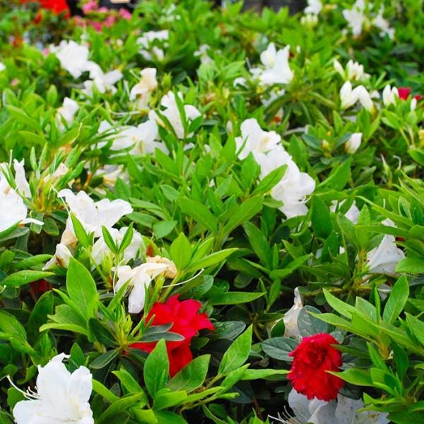 l'Azalea presenta chiome compatte e fiori dai colori vivaci che variano dal bianco al rosa al rosso