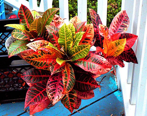 Il croton o Codiaeum variegatum è una pianta arbustiva originaria della Malaysia e delle Isole del Pacifico e può essere coltivata facilmente anche in appartamento