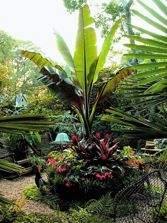 Il banano è una pianta molto appariscente a causa delle sue enormi foglie; tollera anche le temperature più elevate ma necessita di un buon grado di umidità del terreno