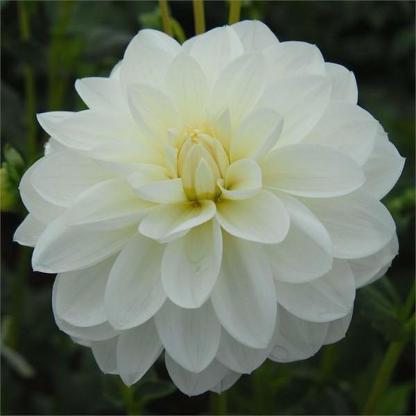 La Dalia, il cui nome corretto è Dahlia, è una pianta bulbosa perenne originaria del Messico, nonché fiore nazionale del paese
