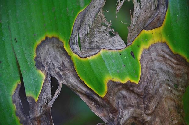 malattia fungina che si riconosce dalla grandi macchie scure (marrone o viola) che compaiono sulla superficie del fogliame