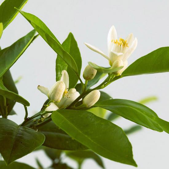pianta di agrumi