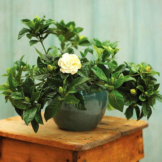 8 piante ideali per profumare la casa guida giardino - Profumare la casa con l ammorbidente ...