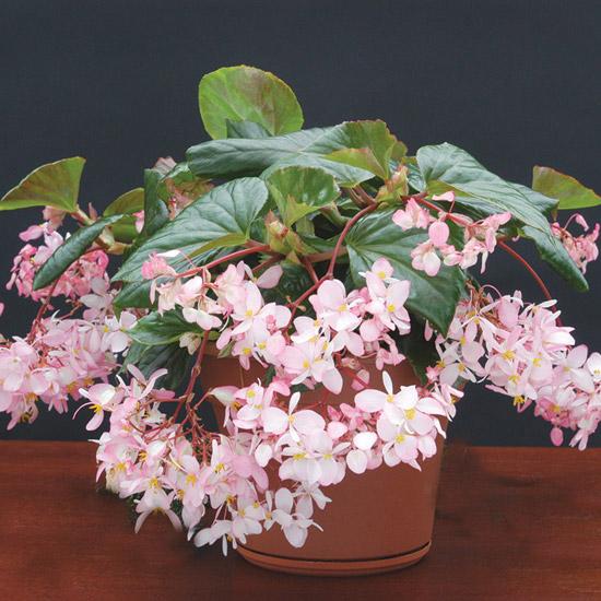 La Begonia Tea Rose è caratterizzate da inflorescenze molto profumate