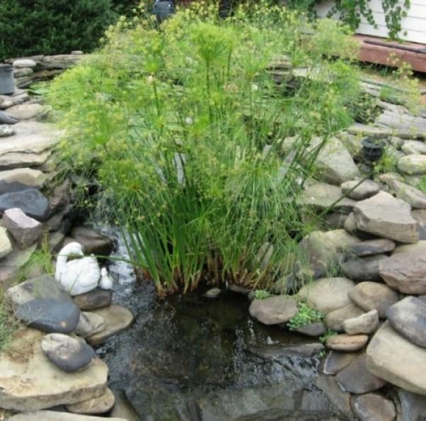 La pianta di papiro è una varietà acquatica che cresce sulle rive degli stagni