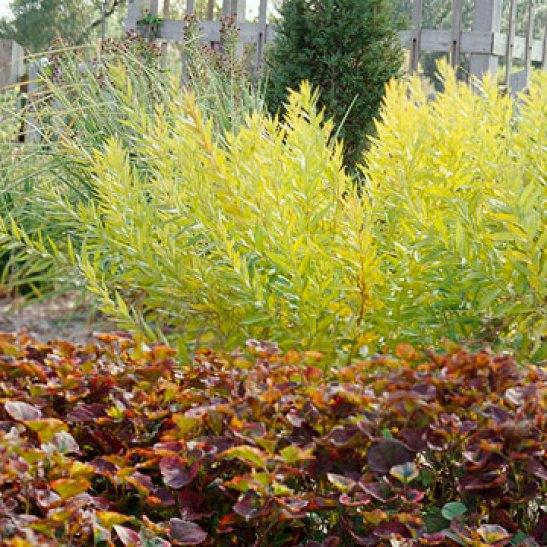 la Amsonia tabernaemontana è una pianta erbacea proveniente dagli Stati Uniti
