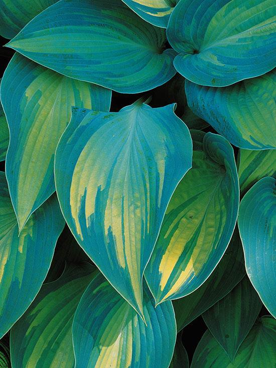 Le Hosta sono un elemento essenziale del giardino d'inverno, crescono in zone ombrose e in aree umide e non sono influenzate dalle basse temperature