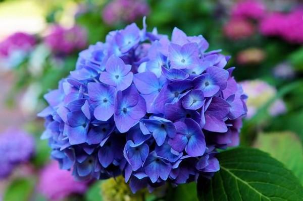 La Hydrangea, comunemente conosciuta come Ortensia, contiene piccole concentrazioni di cianuro e può essere pericolosa se ingerita in grandi quantità