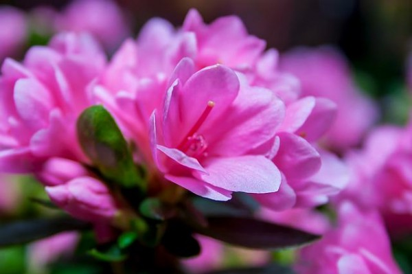 Azalee e Rododendri appartengono allo stesso genere, il Rhododendron, e sono molto simili tra loro pur presentano alcune differenze soprattutto per quanto riguarda le dimensioni