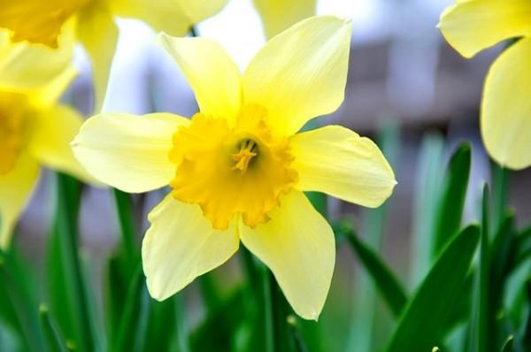 Anche se il fiore e le foglie del Narciso non causano alcun problema, i suoi bulbi, se ingeriti, possono dare luogo a disturbi quali vomito e diarrea