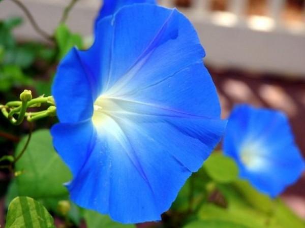 """Questo genere di piante comprende circa 500 specie note col nome volgare di """"campanelle""""; in Italia crescono spontaneamente nei prati e nei campi"""