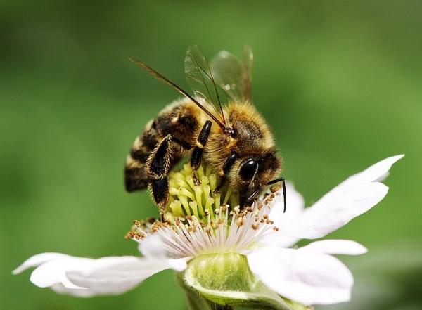 L'impollinazione è un fattore critico per la produzione dei fiori e di conseguenza dei frutti; per non ostacolarla in alcun modo, ma al contrario favorirla, è necessario evitare l'uso dei pesticidi