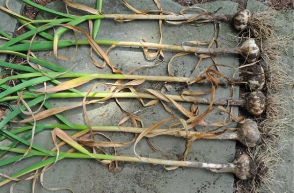il momento migliore per raccogliere l'aglio sia quando le foglie esterne cominciano ad asciugare e restano solo 5-6 foglie verdi centrali