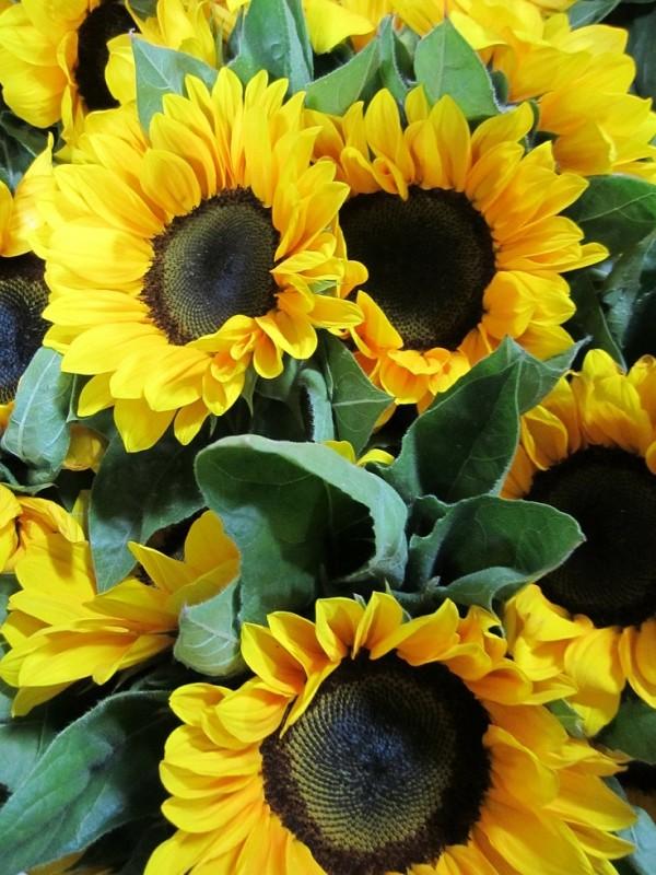 10 stupendi fiori da piantare in primavera guida giardino for Piantare girasoli