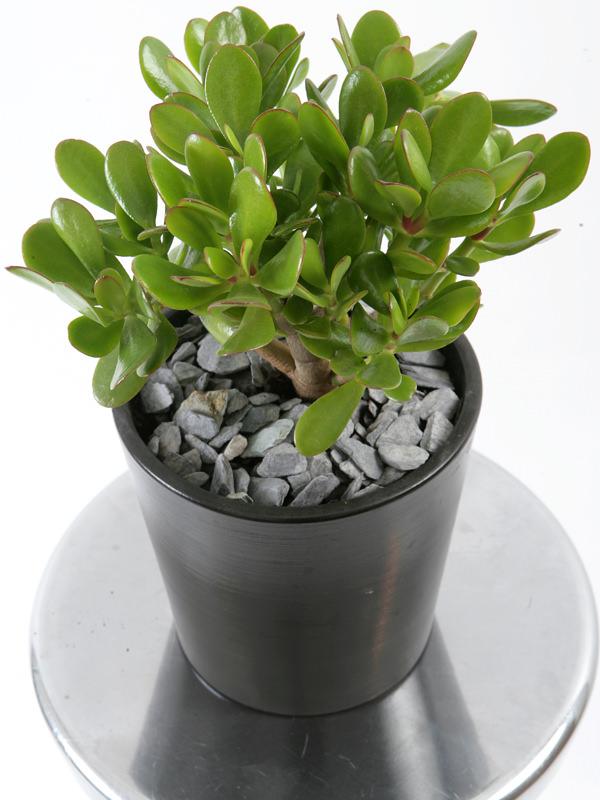 Lacrassulaovataè una pianta molto diffusa e molto popolare. È semplice da coltivare e nelle giuste condizioni regala una fioritura ricca e molto decorativa