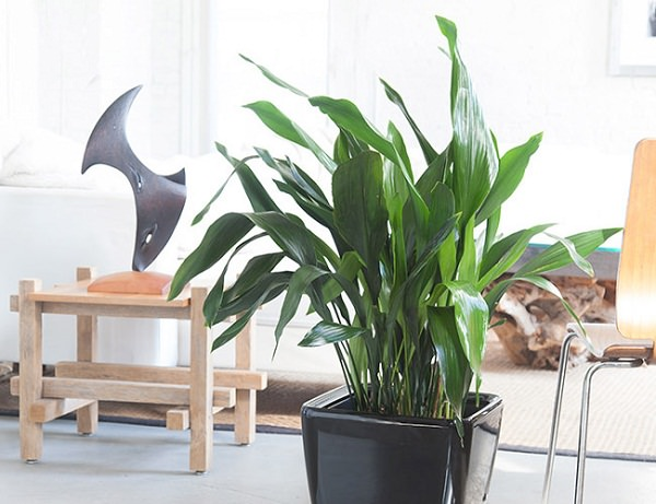 L'Aspidistra ha bisogno di pochissima luce per crescere ed è anche in grado di vivere in ambienti asciutti e caratterizzati ad temperature variabili.