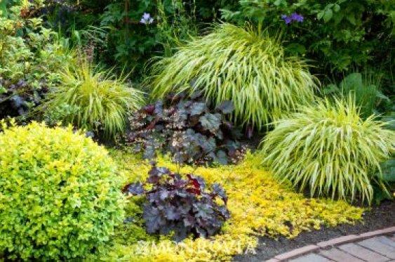 """La Hakonechloa macra 'Aureola' è una graminacea, appartenente alla famiglia delle """"erbe ornamentali"""" e originaria del Giappone, caratterizzata da un fogliame variegato color giallo-oro"""