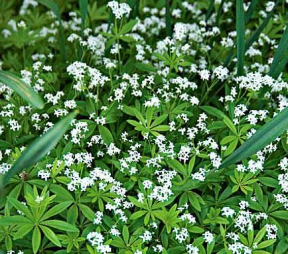 """Il Galium odoratum, comunemente detto asperula o """"stellina odorosa"""", è una pianta appartenente alla famiglia delle Rubiacee che rappresenta una scelta ottima per realizzare una copertura del terreno in zone d'ombra"""