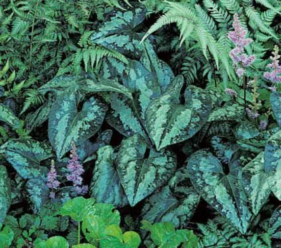 Lo zenzero selvatico, o Asarum, è una pianta nota per il suo fogliame particolare