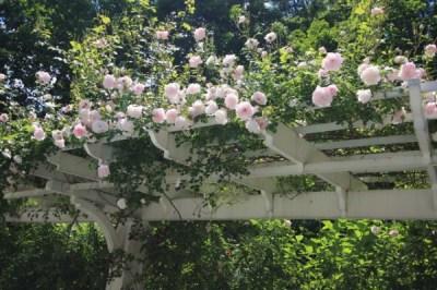 Le rose rampicanti sono perfette non solo per il pergolato, ma anche per aggiungere un tocco di classe a muretti, al patio e a qualsiasi angolo nel giardino