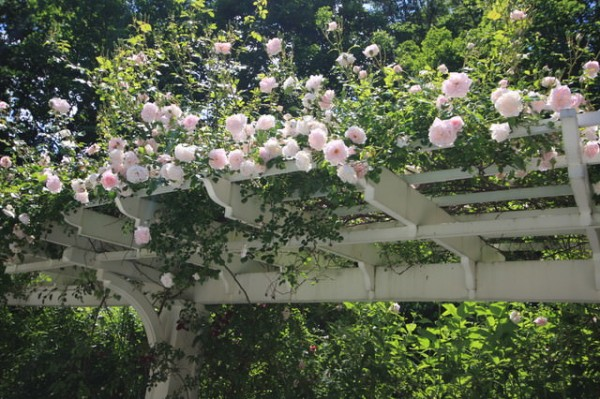 Le Rose Rampicanti Sono Un Classico; Si Tratta Di Una Pianta Perfetta Per  Qualsiasi Clima E In Grado Di Creare Atmosfere Eleganti E Romantiche.
