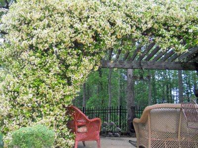 Il genere Jasminum, meglio conosciuto come Gelsomino, comprende diverse varietà di piante sempreverdi e per lo più rampicanti molto apprezzate per l'inteso profumo e la lucentezza del fogliame