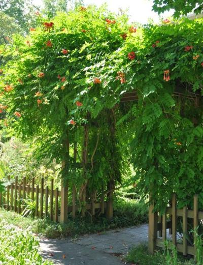 La Bignonia Capredata, Radicans Campsis, è una rampicante caratterizzata da un fitto fogliame verde scuro e stupendi fiori a forma di tromba di colore rosso, giallo o arancione