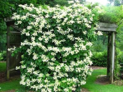 L'Ortensia rampicante è una pianta molto decorativa che produce una fioritura fitta e molto profumata dalla primavera alla fine dell'estate
