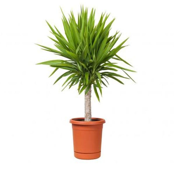 LaYuccaè una pianta d'appartamento rustica che può essere coltivata sia in ambienti interni che esterni