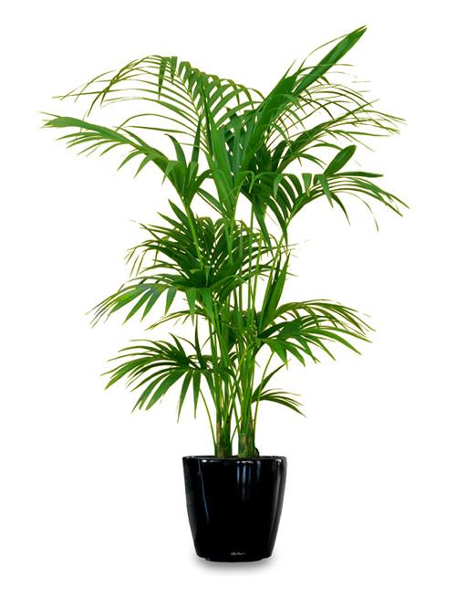 La palma Kentia è una delle piante d\u0027appartamento più utilizzate nella  coltivazione indoor; si tratta di una pianta molto resistente e di facile