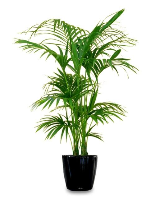 12 stupende piante d appartamento di grandi dimensioni for Plantas grandes de interior resistentes