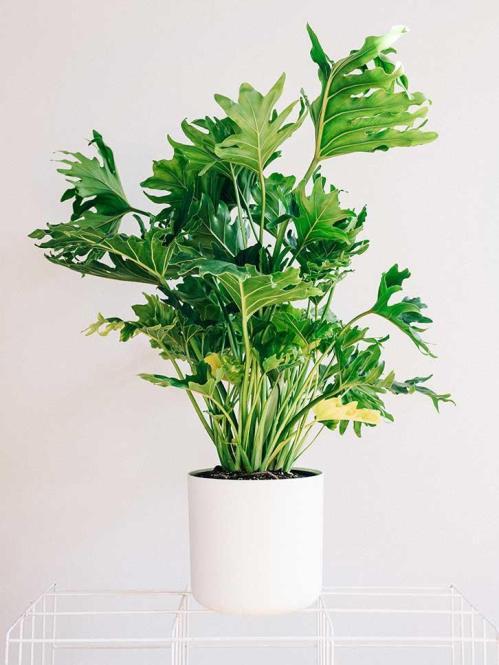 IlFilodendroè un genere di pianta d'appartamento che comprende molte specie differenti ideali per la coltivazione indoor