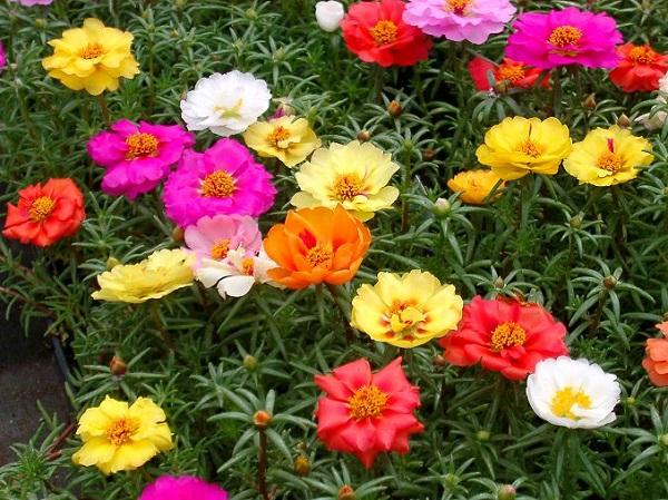 ... è Una Succulenta In Grado Di Fiorire Per Tutta La Stagione Estiva;  Nativa Della Zona Tropicale Del Sud America, è Molto Facile Da Coltivare ...