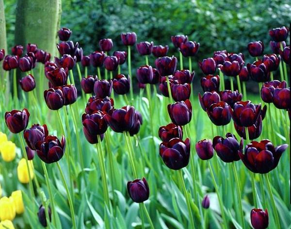 """Il tulipano nero """"Regina della Notte"""" è una specie molto apprezzata"""