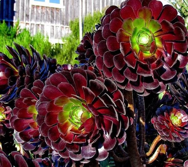 L'Aeonium Arboreum è una pianta succulenta con grandi figlie a rosetta caratterizzate da una tonalità tra il verde scuro e il bruno-rossastro
