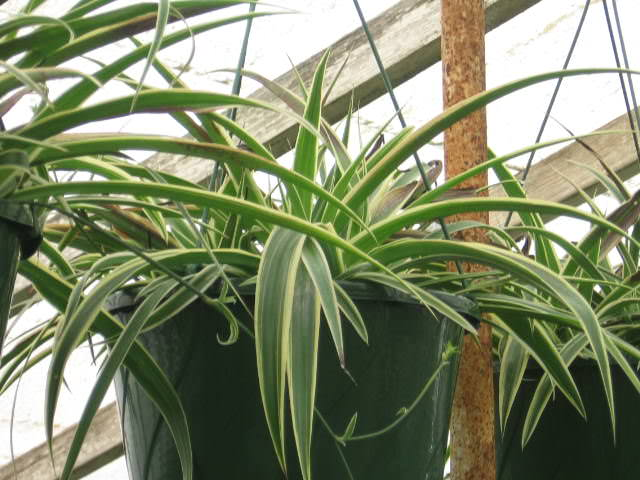 """Chlorophytum comosum, detta anche """"nastrino"""""""