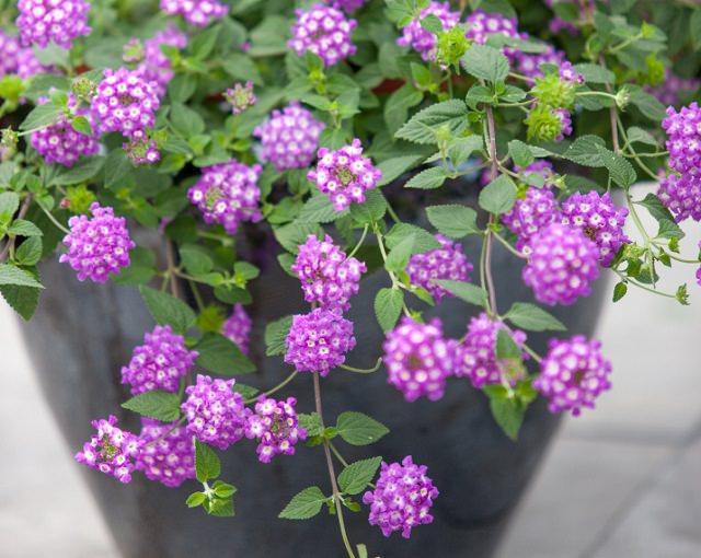 La Lantana, nota come pianta invasiva e quindi spesso coltivata proprio in vaso, è bellissima nei vasi appesi