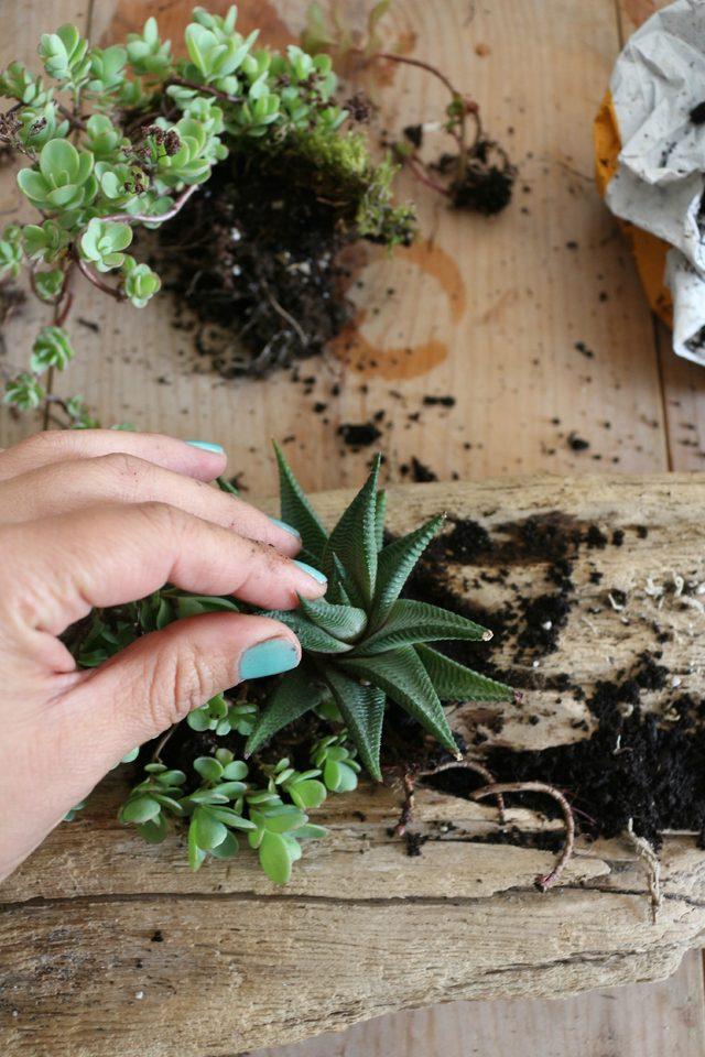 realizzare un tronco di succulente