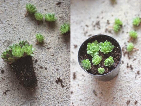 Mini piante grasse dopo il trapianto all'interno di un vaso