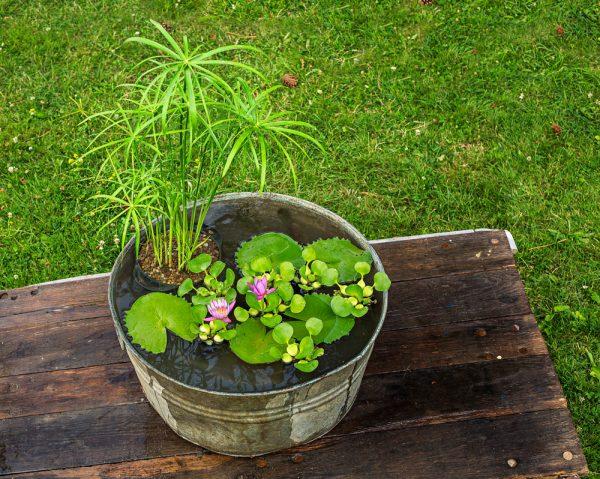 Come realizzare un giardino acquatico in un contenitore for Piante da stagno