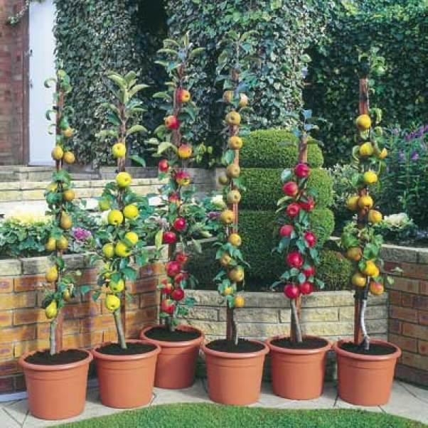 Alberi da frutto colonnari